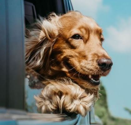 Dog Riding In Car 420x400