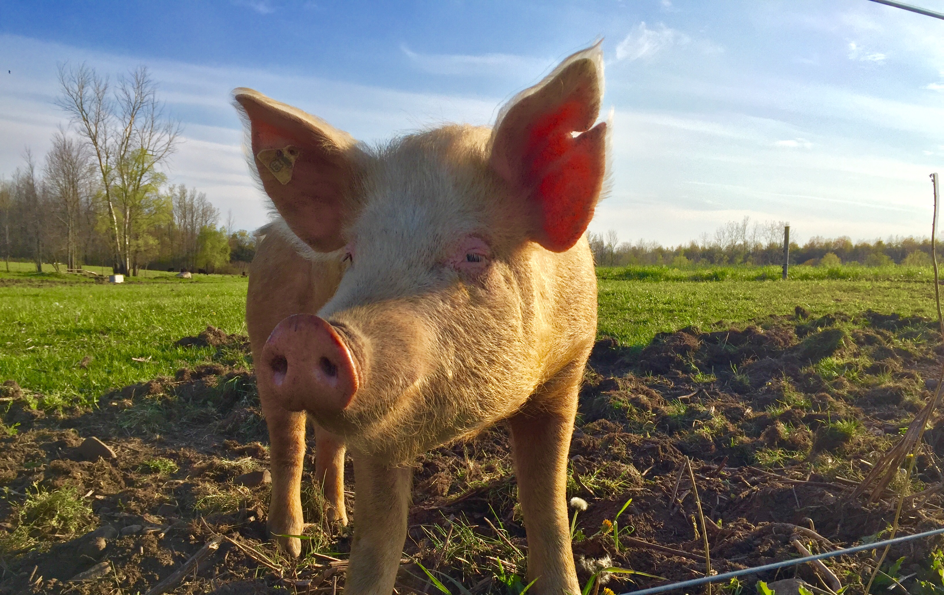 Pig stands by fence in Farmington
